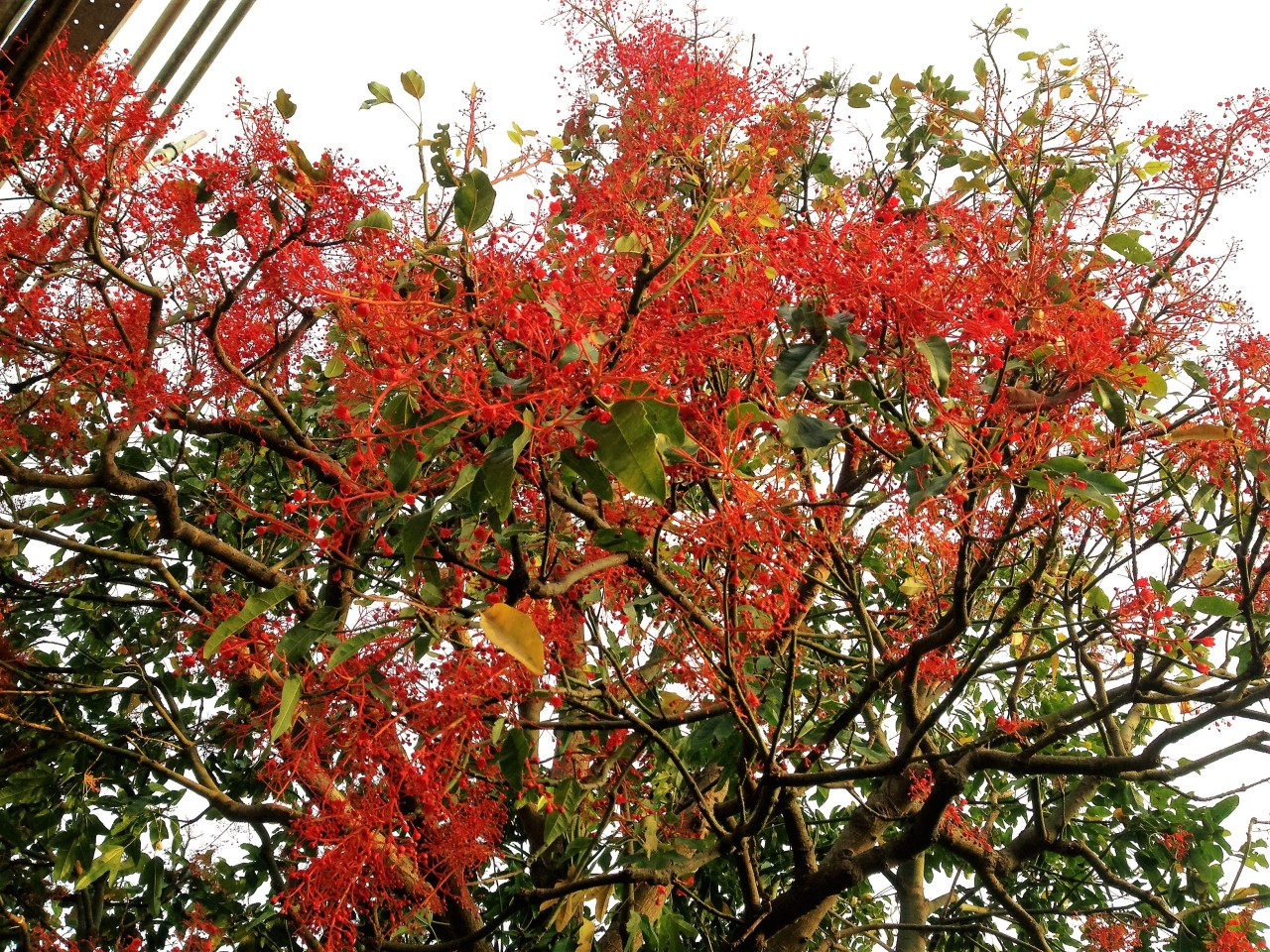 my Illawarra Flame Tree