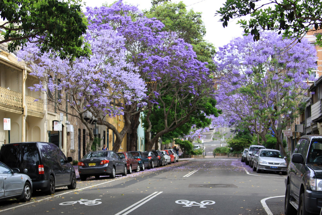 Sydney jacarandas (Flickr/Francisco Martins)