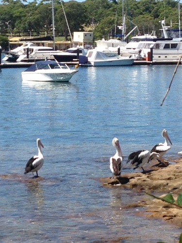 pelicans by the boat ramp
