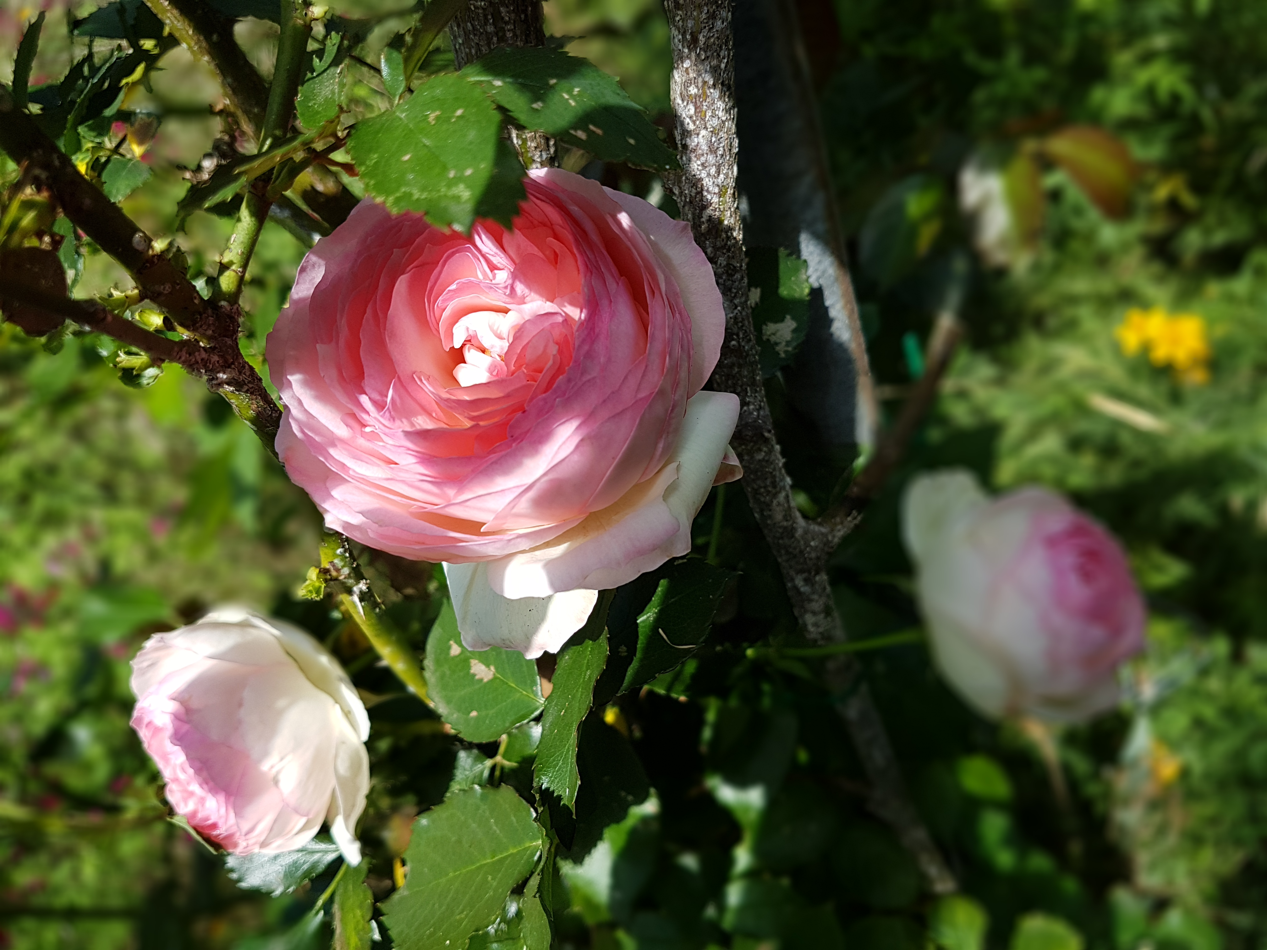 a rose would smell as sweet...cbisset2013