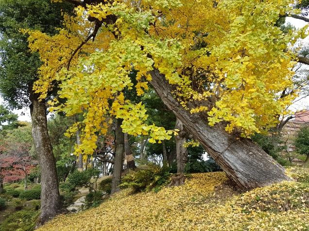 the gingko tree