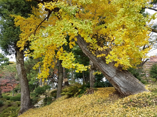 the gingko tree